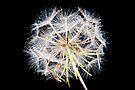 Seed head by David Isaacson