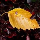Wet Birch Leaf in Barberry Bush by Kenneth Keifer