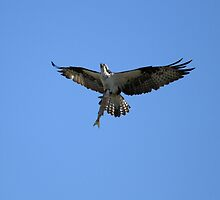 Osprey's Big Catch by DARRIN ALDRIDGE