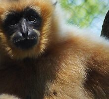 Gibbon by ☼Laughing Bones☾