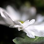 Little White Mum Petals by marycarnahan