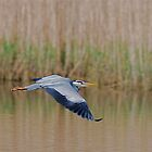HERON. by dougie1page3