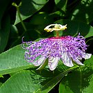 Passion Flower (Passion of Christ Flower) by Kenneth Keifer