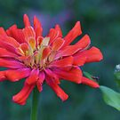 zinia close up by ANNABEL   S. ALENTON