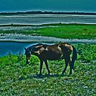 Wild Horse - Assateague Island, Virginia by michael6076