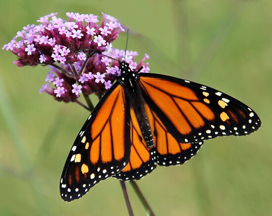 Beautiful Monarch by vette