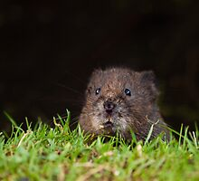Water Vole - Over the grass horizon by George Wheelhouse