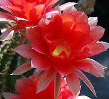 Late Season Echinopsis by Ron Hannah