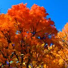 Red, Orange & Yellow Leaves on Fall Autumn Trees against a Blue Sky by Chantal PhotoPix