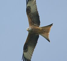 Red Kite by MendipBlue