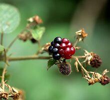 Berry ripening by Wealie