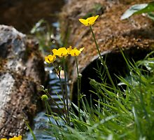 Buttercups by the river by Wealie