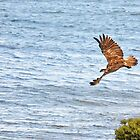 Sea Eagle on the Move by Simon Bannatyne