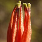 Lambertia echinata by kalaryder