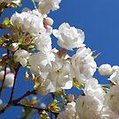 White blossom by Catherine Davis