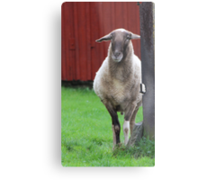 My father was a cameroon sheep Metal Print