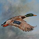 Mallard in Flight  by David McEwen