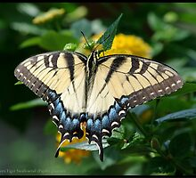Eastern Tiger Swallowtail... by pieceoflace