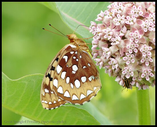 Great Spangled Fritillary... by pieceoflace