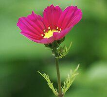 Red Flower Bokeh by David Alexander Elder