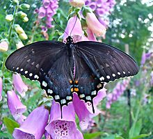 Spicebush Swallowtail Butterfly on Foxgloves - Papilio troilus by MotherNature