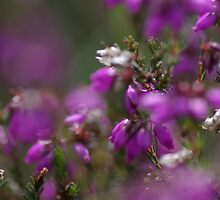 In amongst the heather by Wealie
