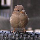 House Sparrow  by patjila