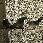 Pigeons by Ken Baugh