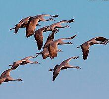 010210 Sandhill Cranes by Marvin Collins