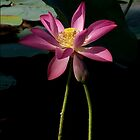 illusional Lotus by jono johnson
