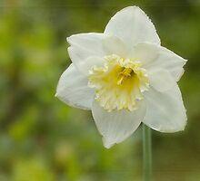 Daffodil by Laura  Knight