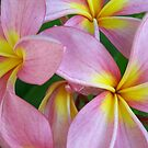 Candy Pink Frangipani - Femininity by jono johnson