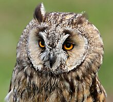Charlie the Long-eared Owl by Mark Hughes