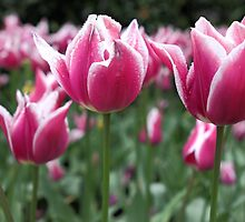 Candy Stripe Tulips by yolanda