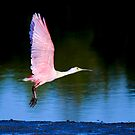 Roseate spoonbill, platalea ajaja by Arto Hakola