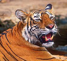 Portrait indian tiger by leksele