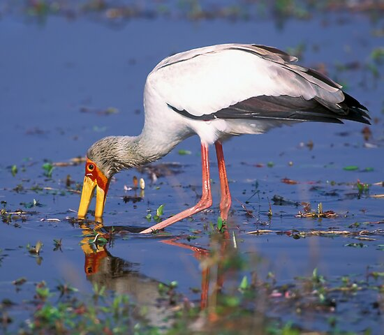 Hunting yellow-billed stork by leksele