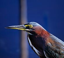 Green heron,  butorides virescens by Arto Hakola
