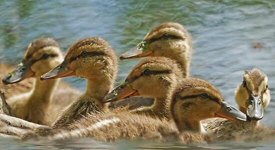 Mallard Babies by KatMagic Photography