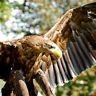 White-tailed Fish Eagle by Bulalio