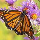 Monarch on Asters by lorilee