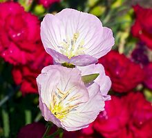 Musk Mallow Flowers backed by Carnations by Kenneth Keifer