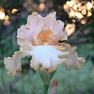 """Barbara My Love"" - Apricot Iris by louisegreen"