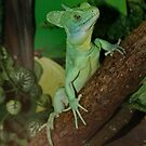 Plumed Basilisk called Shrek !! by AnnDixon