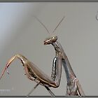 Praying Mantis Silver by Neutro
