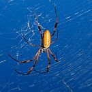 Golden orb-web spider, nephila clavipes by Arto Hakola