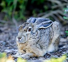 Black-tailed jackrabbit, lepus californicus by Arto Hakola