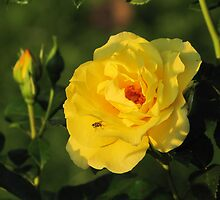 Yellow Rose in Sunshine by orko