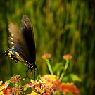 Butterfly by vasu
