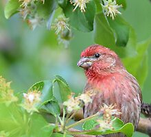 House Finch Hello by osprey-Ian